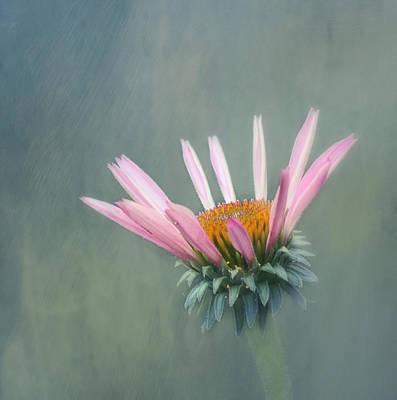 Echinacea Photograph - Change by Kim Hojnacki