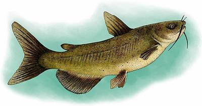 Catfish Painting - Channel Catfish by Roger Hall