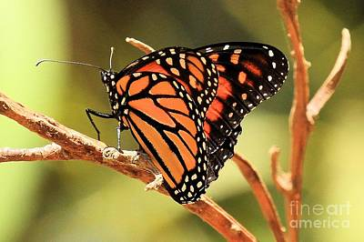 Photograph - Channel Islands Butterfly by Adam Jewell