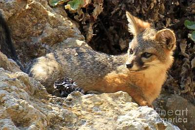 Photograph - Channel Islands Fox Nap by Adam Jewell