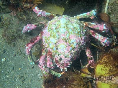 Photograph - Channel Islands Painted Crab by Adam Jewell