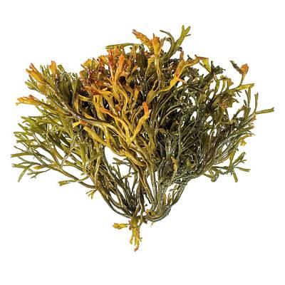 Channelled Wrack Seaweed Art Print