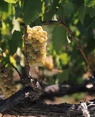 Chardonnay Grapes In Vineyard, Carneros Art Print