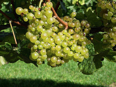 Craggy Photograph - Chardonnay Grapes On Vine by Panoramic Images