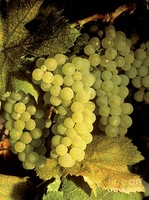 Photograph - Chardonnay Wine Grapes by Craig Lovell