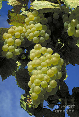 Chardonnay Wine Grapes Art Print
