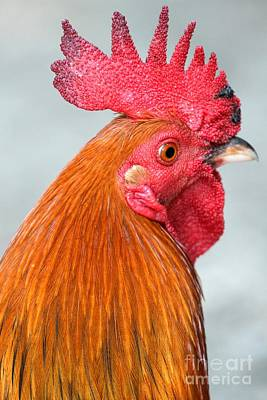 Photograph - Charleston Red Rooster by Adam Jewell