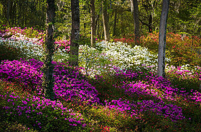 Charleston Sc Azalea Flowers And Sunlight - Fairytale Forest Art Print