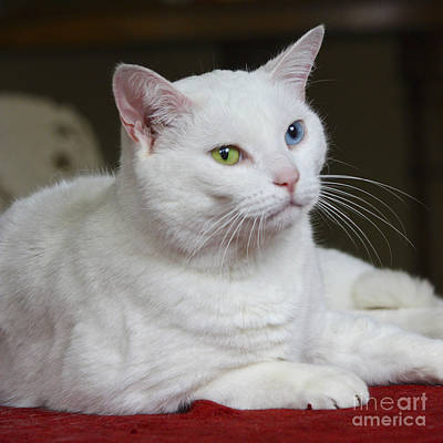 Photograph - Charlie The White Cat by Terri Waters
