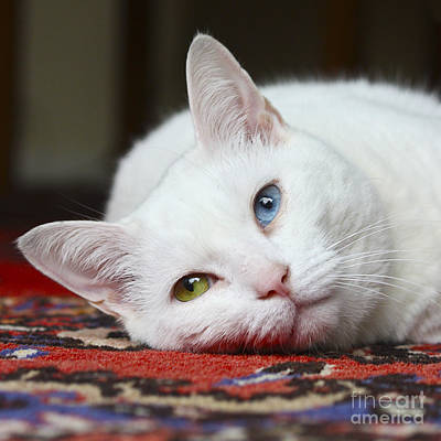 Photograph - Charlie The White Pussy Cat by Terri Waters
