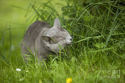 Chartreux Wall Art - Photograph - Chartreux Cat And Grass by Jean-Michel Labat
