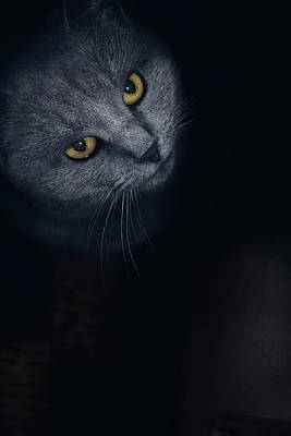 Chartreux Wall Art - Photograph - Chartreux Cat Standing In Front by Marko Radovanovic
