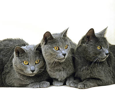 Chartreux Wall Art - Photograph - Chartreux Domestic Cat by Gerard Lacz