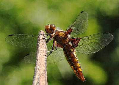 Photograph - Chaser Dragonfly by Susan Leake