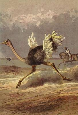 Running Horses Drawing - Chasing The Ostrich by English School
