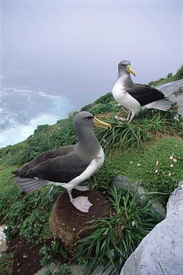 Chatham Albatrosses Nesting On A Cliff Art Print
