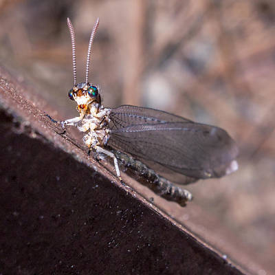 Creative Charisma - Chauliodes by Rob Sellers
