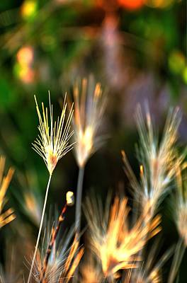 Photograph - Cheat Grass 15849 by Jerry Sodorff