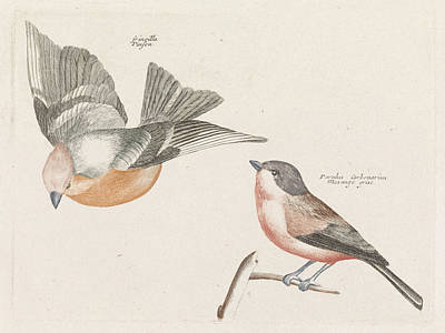 Finch Drawing - Check And Gray Flank Tit, Anonymous, Johan Teyler by Johan Teyler