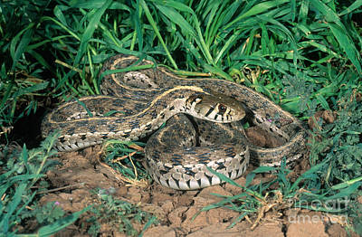 Garter Snake Photograph - Checkered Garter Snake by Anthony Mercieca