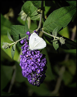 Photograph - Checkered White Butterfly On Purple by LeeAnn McLaneGoetz McLaneGoetzStudioLLCcom