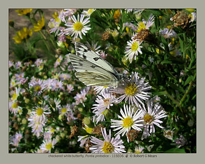 checkered white butterfly - Pontia protodice - 11SE06 Art Print by Robert G Mears