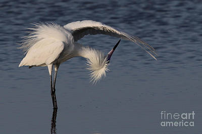 Photograph - Checking For Leaks - Reddish Egret - White Form by Meg Rousher