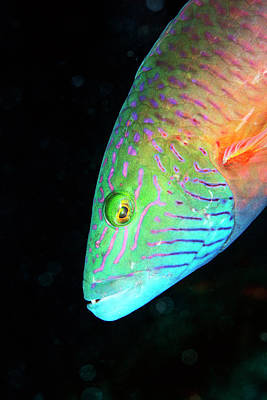 Colorful Tropical Fish Photograph - Cheek-lined Wrasse by Louise Murray