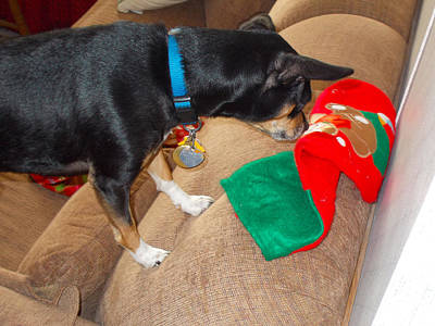 Photograph - Cheeko The Puppy Looking For His Gifts by Amazing Photographs AKA Christian Wilson