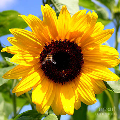 Photograph - Cheerful Sunflower With Bee by Carol Groenen