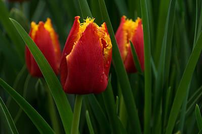 Ruby Garden Jewel Photograph - Cheerfully Wet Red And Yellow Tulips by Georgia Mizuleva