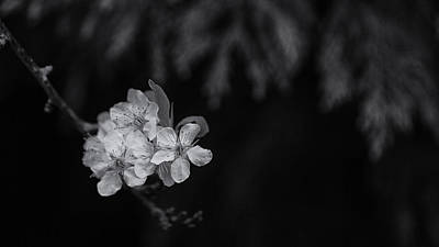 Photograph - Cheery Blossom by Tim Nichols