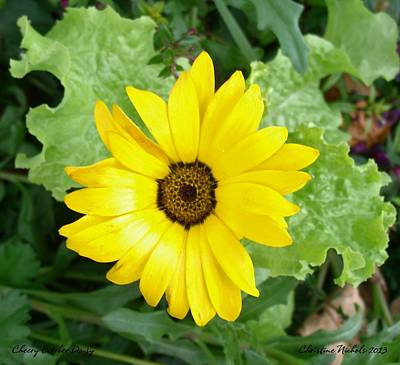 Photograph - Cheery October Daisy by Christine Nichols