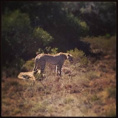Photograph - Cheetah 🐾 by Becky Howlett