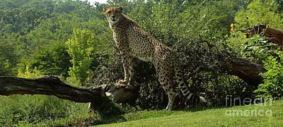 Cheetah Digital Art - Cheetah-1 by Gary Gingrich Galleries