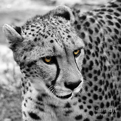 Photograph - Cheetah 3 Quarters Macro Profile Color Splash Digital Art Square Format by Shawn O'Brien