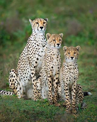 Cheetah Acinonyx Jubatus Family, Ndutu Art Print