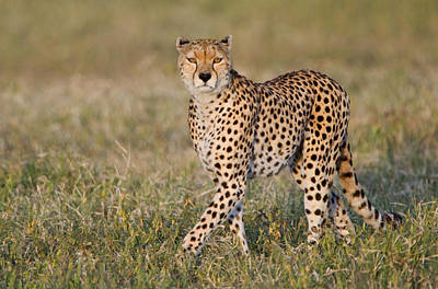 Acinonyx Photograph - Cheetah Acinonyx Jubatus In A Forest by Panoramic Images