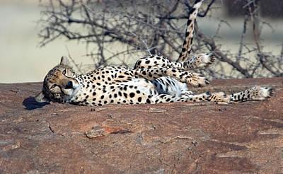 Cheetah Acinonyx Jubatus Resting Art Print by Panoramic Images