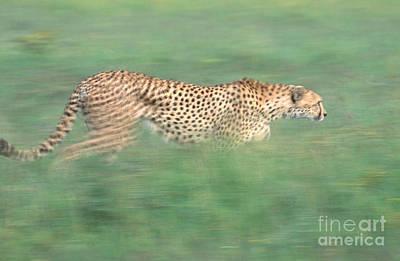 Cheetah Acinonyx Jubatus Running Art Print by Art Wolfe
