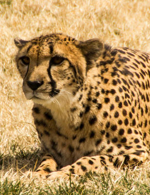 Art Print featuring the photograph Cheetah by Cathy Donohoue
