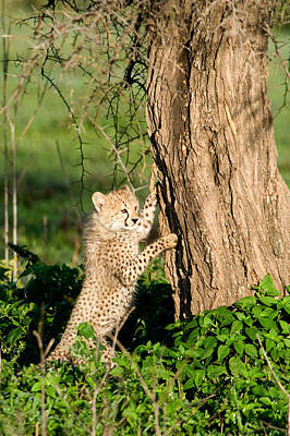 Carnivora Photograph - Cheetah Cub Acinonyx Jubatus Climbing by Panoramic Images