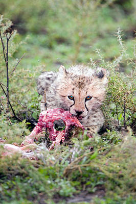 Cheetah Cub Acinonyx Jubatus Eating Art Print