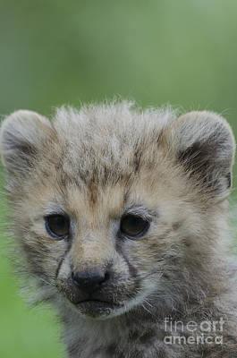 Cheetah Digital Art - Cheetah Cub  by Darren Wilkes