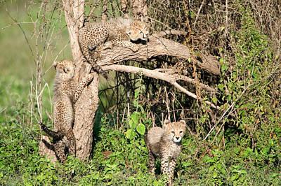 Climbing In Photograph - Cheetah Cubs Acinonyx Jubatus Climbing by Panoramic Images
