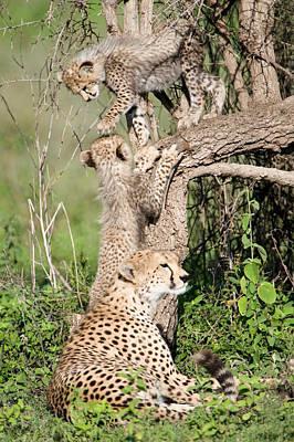 Cheetah Cubs Acinonyx Jubatus Art Print by Panoramic Images