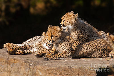 Photograph - Cheetah Cubs Close Together by Nick  Biemans