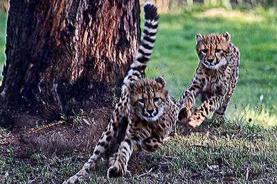 Photograph - Cheetah Cubs by Miroslava Jurcik