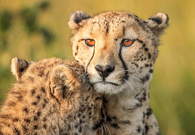 Cheetah Eyes Art Print