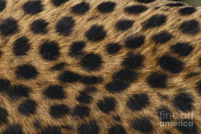 Designs In Nature Photograph - Cheetah Fur by F. Polking/Okapia
